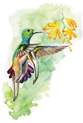Hybride N°023 : Colibris-Springbok